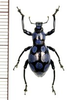 カタゾウムシの一種 Pachyrhynchus sanchezi    フィリピン(ルソン島)