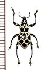 カタゾウムシの一種 Pachyrhynchus marinduquensis  ♂  フィリピン(ボアク島)
