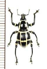 カタゾウムシの一種 Pachyrhynchus moniliferus chevrolati ♀ フィリピン(ボアク島)