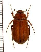 コフキコガネの一種 Melolonthinae species 中国(河北省)