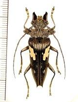 カミキリムシの一種 Sepicana arfakensis ♂ インドネシア(ニューギニア島)