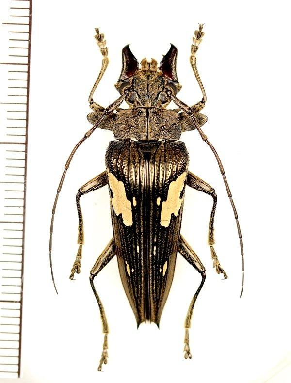 画像1: カミキリムシの一種 Sepicana arfakensis ♂ インドネシア(ニューギニア島)