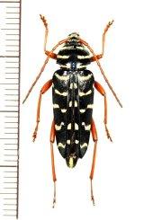 カミキリムシの一種 Placosternus erythropus ♀ メキシコ
