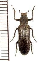 クビカクシゴミムシダマシの一種 Stenochinus sp.  中国(雲南省)