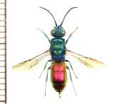 セイボウの一種 Chrysididae species ロシア