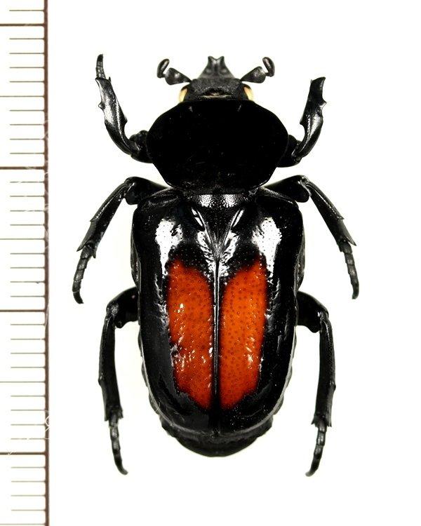 画像1: オバケアリノスハナムグリ Cyclidius elongatus ペルー