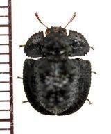 チビコブツノゴミムシダマシの一種 Byrsax sp. インドネシア(スマトラ島)