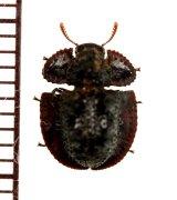 チビコブツノゴミムシダマシの一種 Byrsax sp. マレーシア(ボルネオ島)