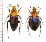 ヒゲブトハナムグリの一種 Glaphyrinae species ペア ベトナム北東部