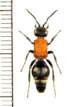 アリバチの一種 Mutillidae species ♀   ベトナム北東部