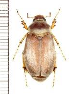 コフキコガネの一種 Chioneosoma pulvereum ♀ ロシア