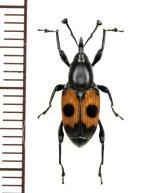 眼状紋を持ったオサゾウムシの一種 Rhynchophoridae species フィリピン(ルソン島)