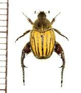 アシナガコガネの一種 Hopliini species ♂ 南アフリカ