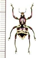 カタゾウムシの一種 Pachyrhynchus sp.  フィリピン(レイテ島)