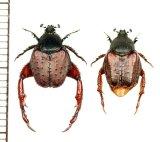 アシナガコガネの一種 Pachycnema sp. ペア 南アフリカ