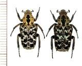 アリノスハナムグリの一種  Callynomes variabilis variabilis ペア フィリピン(レイテ島)