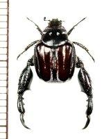 アシナガコガネの一種 Pachycnema sp. ♂ 南アフリカ