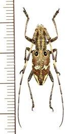 コブヤハズカミキリ族のカミキリムシの一種 Pseudoechthistatus holzschuhi ♂ ベトナム北東部