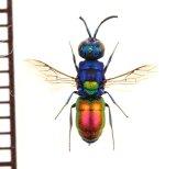 セイボウの一種 Chrysididae species ウクライナ