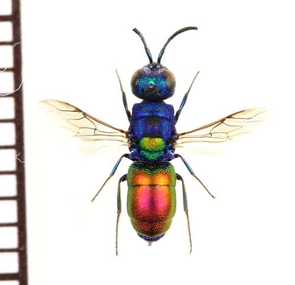 画像1: セイボウの一種 Chrysididae species ウクライナ