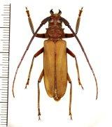 トゲウスバカミキリ 奄美亜種 ♂35mm 奄美大島