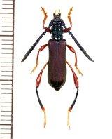 カミキリムシの一種 Ipothalia cambodgensis ♂  ベトナム北東部