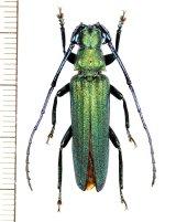 カミキリムシの一種 Vietetropis viridis ♂ ベトナム北東部