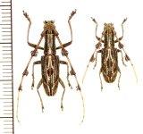 カミキリムシの一種 Psectrocera plumigera ペア インドネシア(スマトラ島)