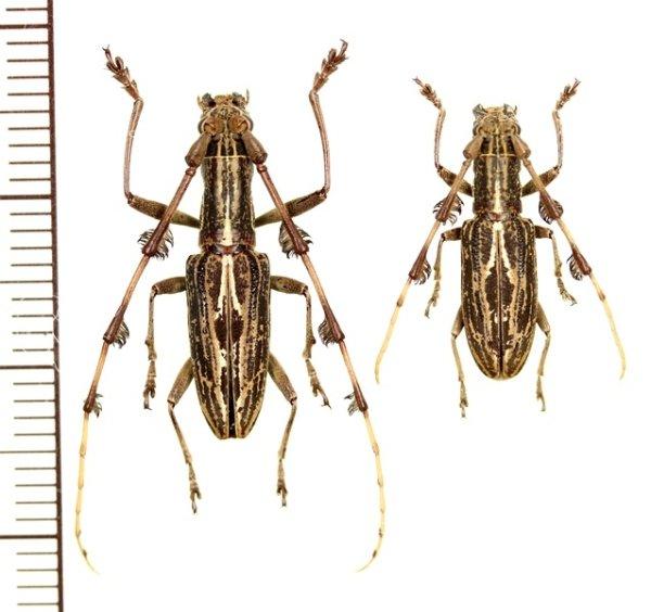 画像1: カミキリムシの一種 Psectrocera plumigera ペア インドネシア(スマトラ島)