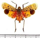 ビワハゴロモの一種  Penthicodes pulchella インドネシア(ジャワ島)