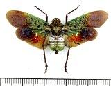 ビワハゴロモの一種  Penthicodes farinosa farinosa インドネシア(ペレン島)
