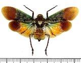 ビワハゴロモの一種  Penthicodes farinosa tullia インドネシア(シュラウェシ島)