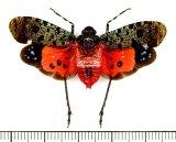 ビワハゴロモの一種  Penthicodes bimaculata インドネシア(ボルネオ島)