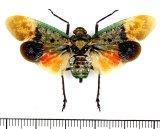 ビワハゴロモの一種  Penthicodes farinosa farinosa インドネシア(ボルネオ島)