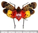 ビワハゴロモの一種  Penthicodes quadrimaculata インドネシア(ボルネオ島)