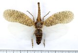 ビワハゴロモの一種  Zanna nobilis マレーシア
