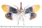 ビワハゴロモの一種  Pyrops sultanus インドネシア(ボルネオ島)