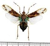ビワハゴロモの一種  Prolepta ferocula インドネシア(ボルネオ島)