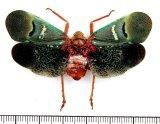 ビワハゴロモの一種  Scamandra castanea インドネシア(シュラウェシ島)