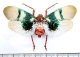 ビワハゴロモの一種  Scamandra selene インドネシア(シュラウェシ島)