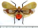 ビワハゴロモの一種  Scamandra shiinae インドネシア(スマトラ島)
