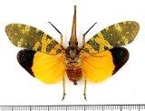 ビワハゴロモの一種  Pyrops candelaria タイ