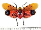 ビワハゴロモの一種  Penthicodes atomaria タイ
