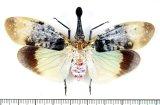 ビワハゴロモの一種  Pyrops clavata clavata タイ