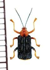 トゲハムシの一種 Hispinae species インドネシア(スマトラ島)