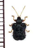 トゲハムシの一種 Hispinae species  ラオス