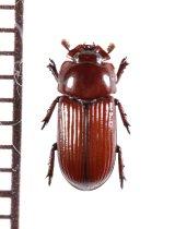 好白蟻性のクワガタムシの一種 Penichrolucanus leveri ソロモン諸島(ガダルカナル島)