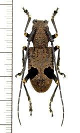 カミキリムシの一種 Monochamus latefasciatus ♀  ベトナム北東部