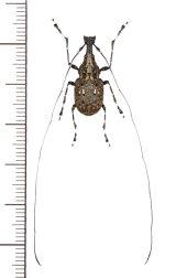 ヒゲナガゾウムシの一種 Anthribidae species ♂ ベトナム北東部