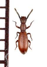 好蟻性のゴミムシダマシの一種 Dichillus tyrrhenicus イタリア